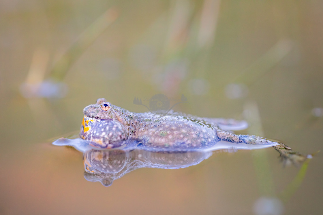 """Yellow-bellied toad"" stock image"