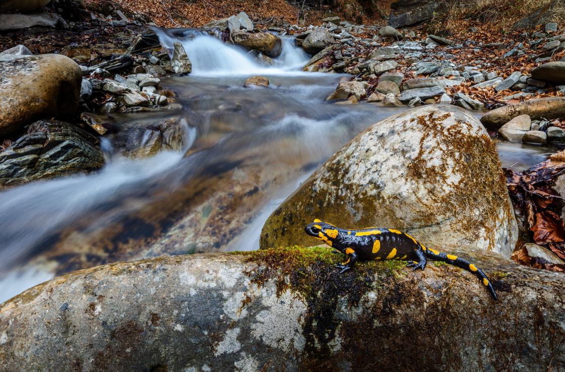 """Fire salamander"" stock image"