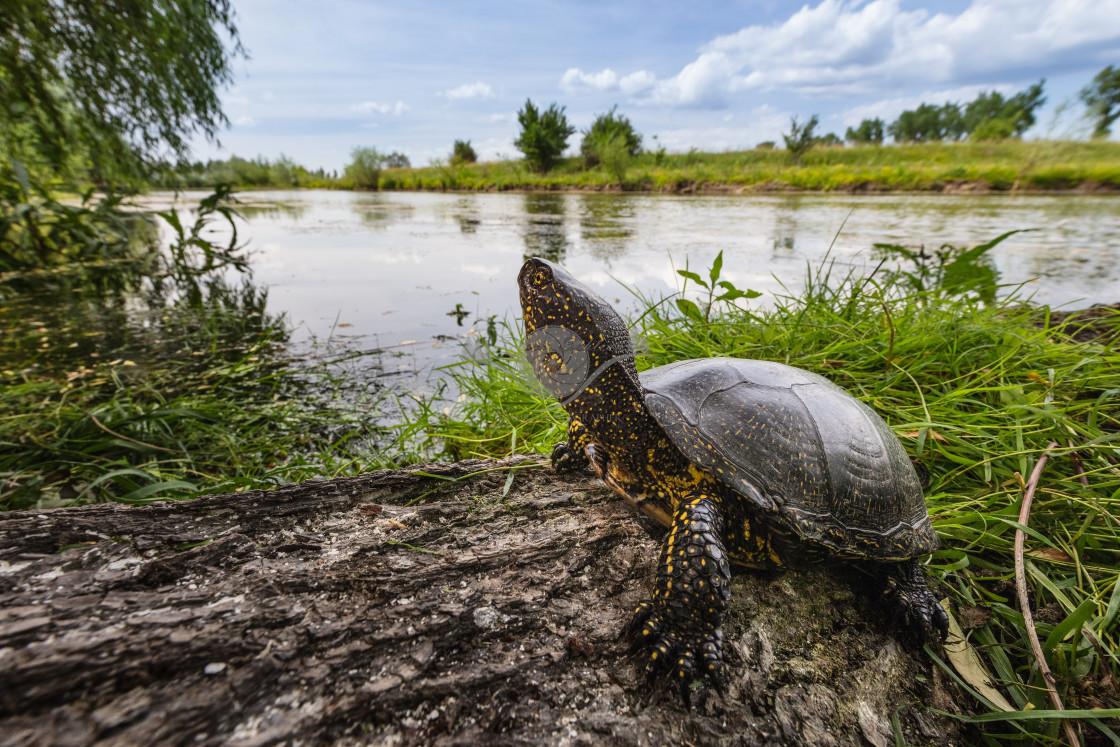 """European pond turtle"" stock image"