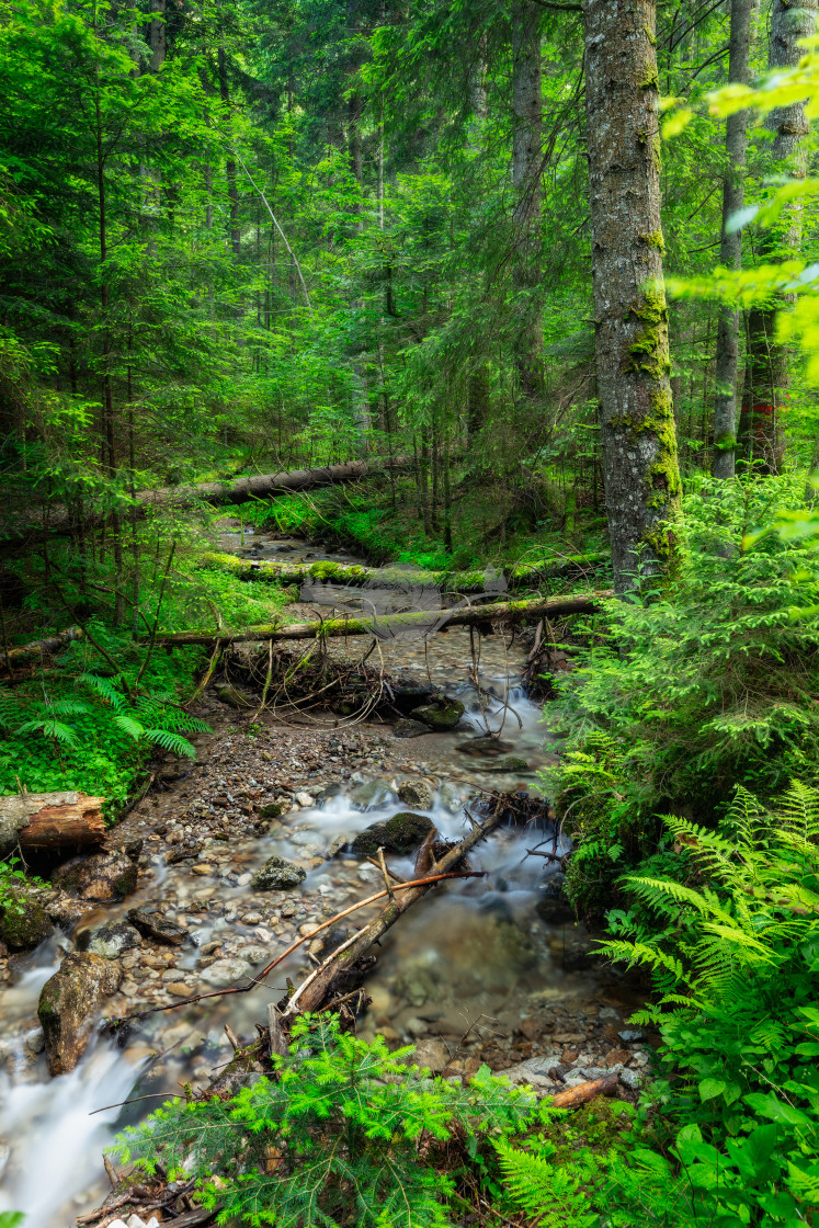 """Old-growth forest"" stock image"