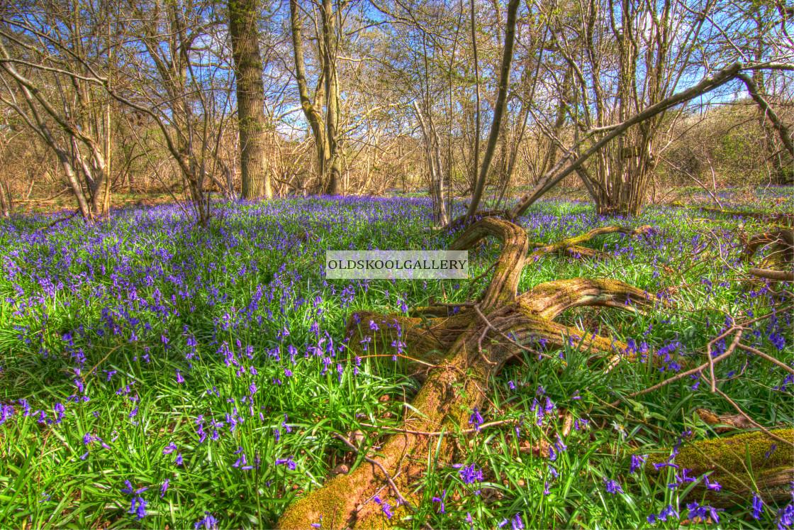 """Bluebell Woods (2016)"" stock image"