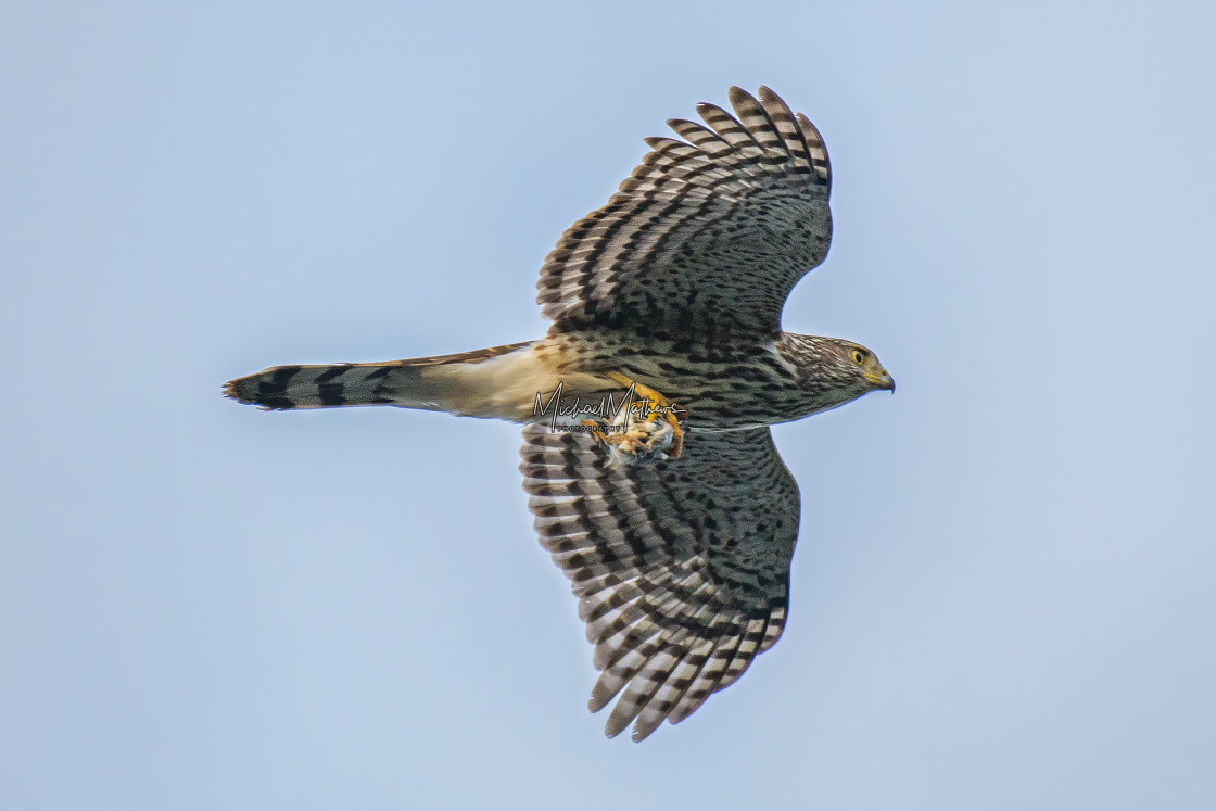 """Coopers Hawk with Prey"" stock image"