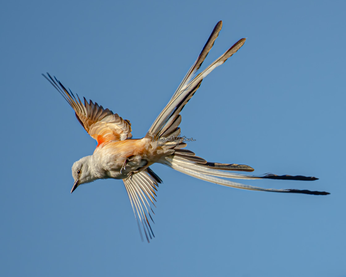 """Scissor-tailed Flycatcher in Flight"" stock image"