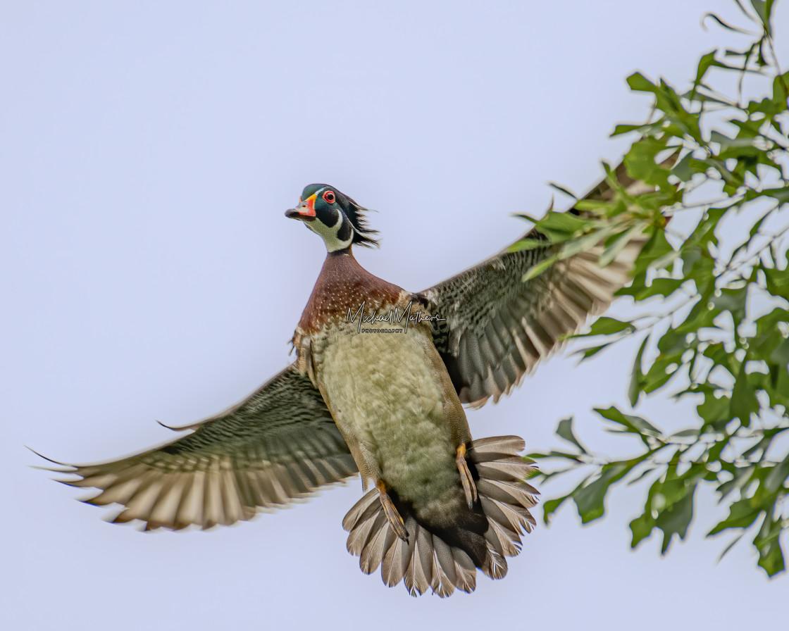 """Male Wood Duck Flying"" stock image"
