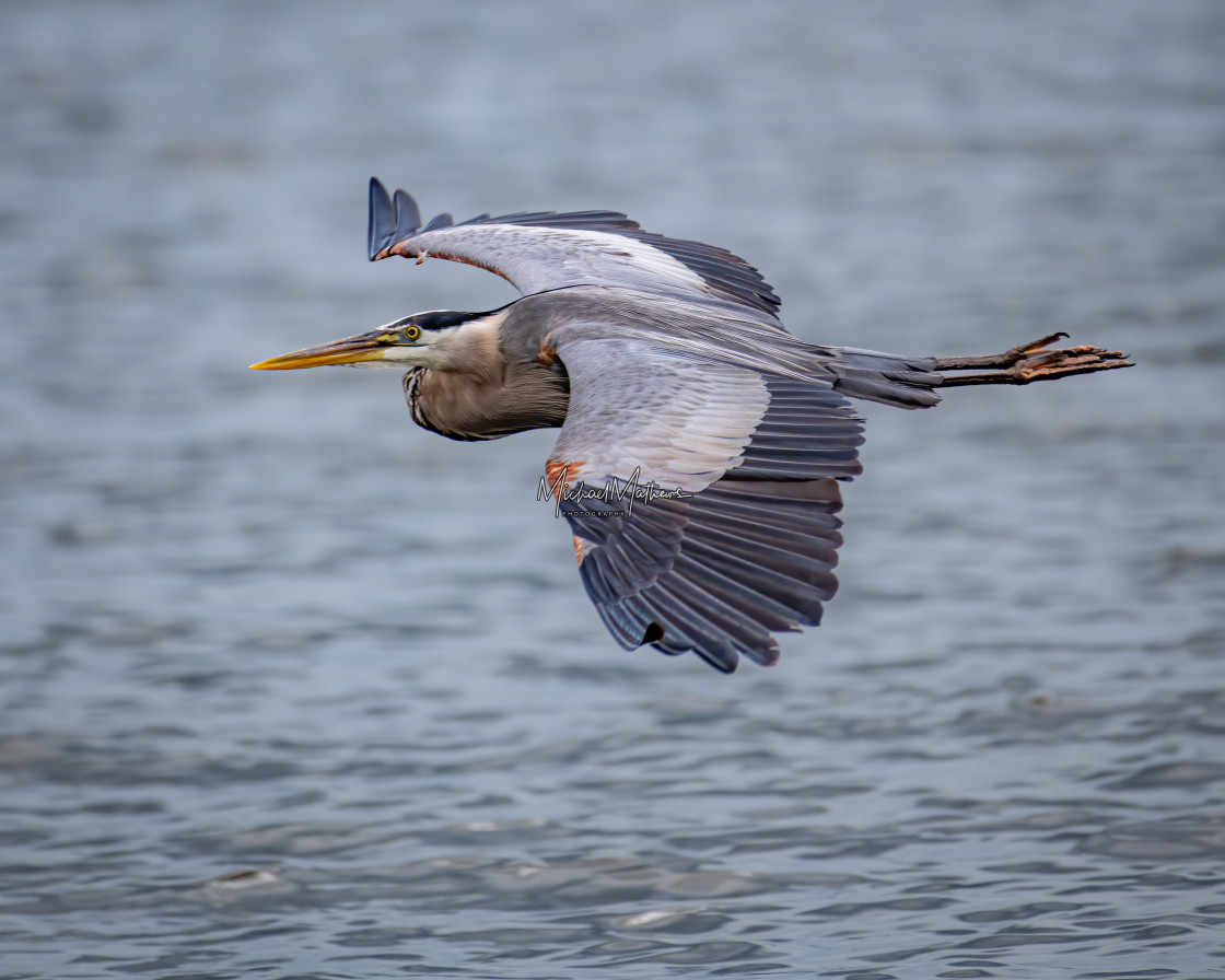 """Great Blue Heron Flyby"" stock image"