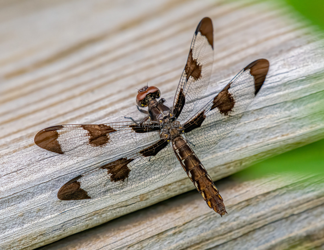 """Female Whitetail Dragonfly"" stock image"