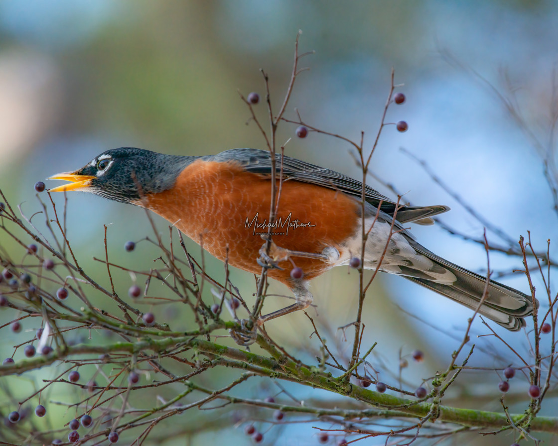 """American Robin on Hackberry Tree"" stock image"
