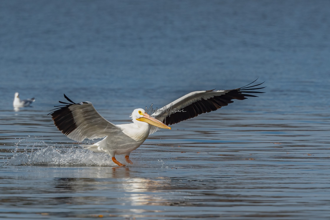 """""""White Pelican Landing on the Water"""" stock image"""