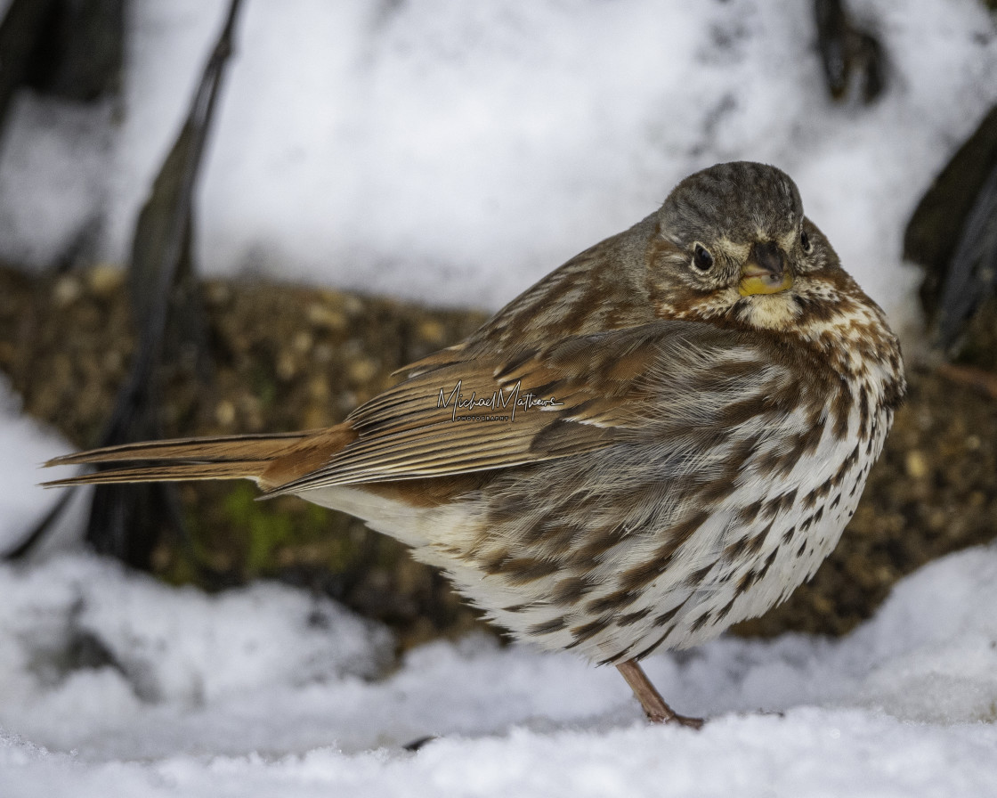 """""""Fox Sparrow in the Snow"""" stock image"""