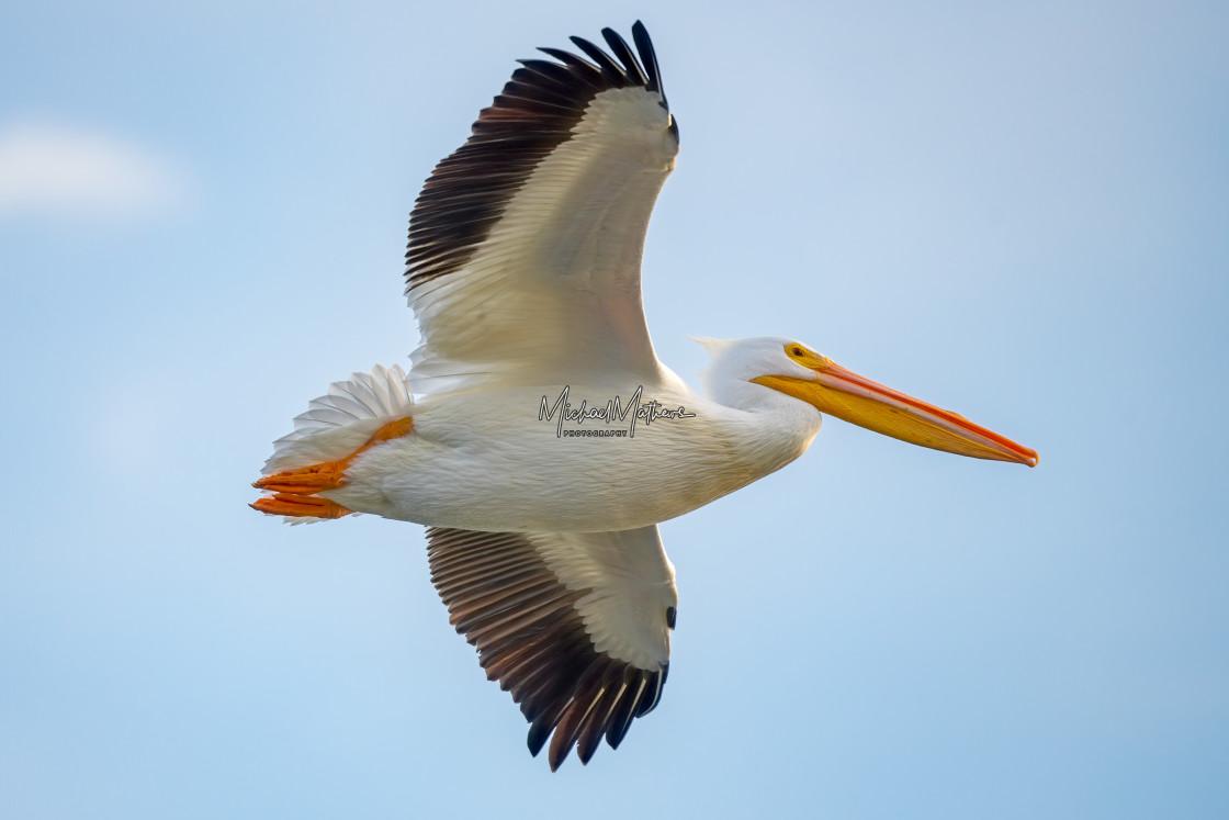 """American White Pelican"" stock image"