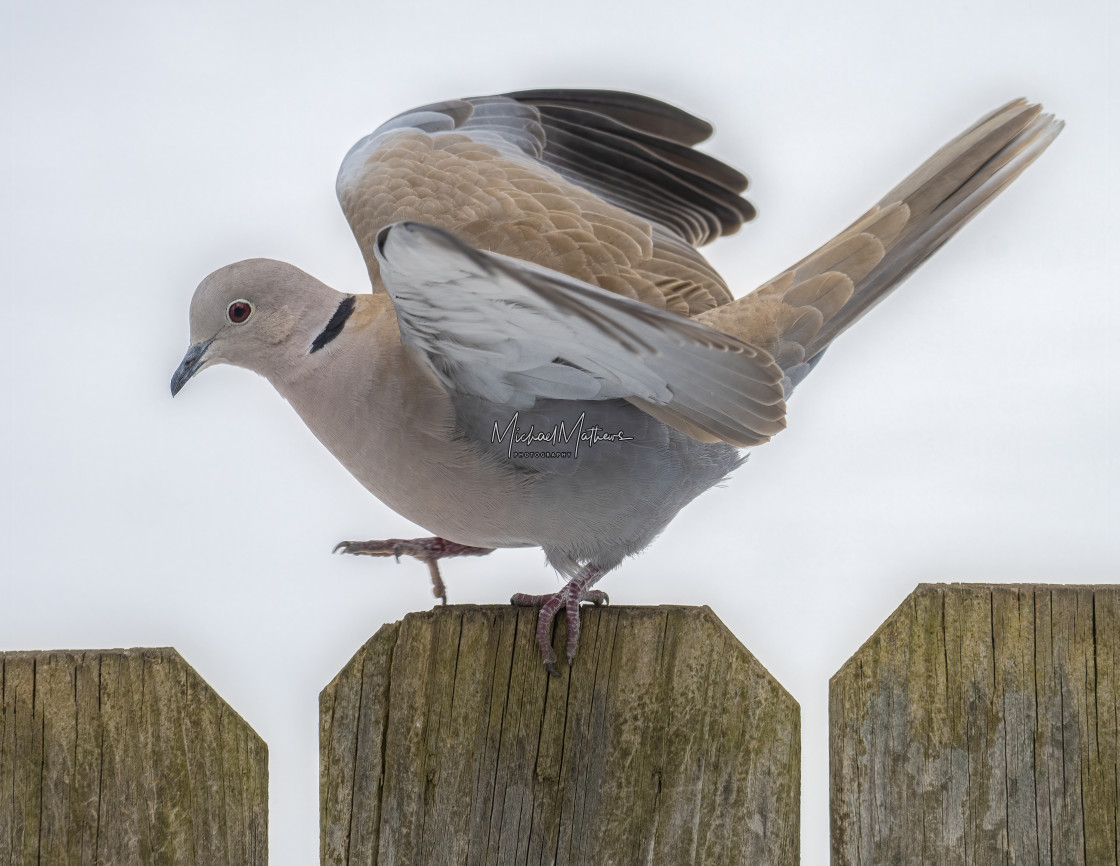 """Eurasian Collared Dove Walking on Fence"" stock image"