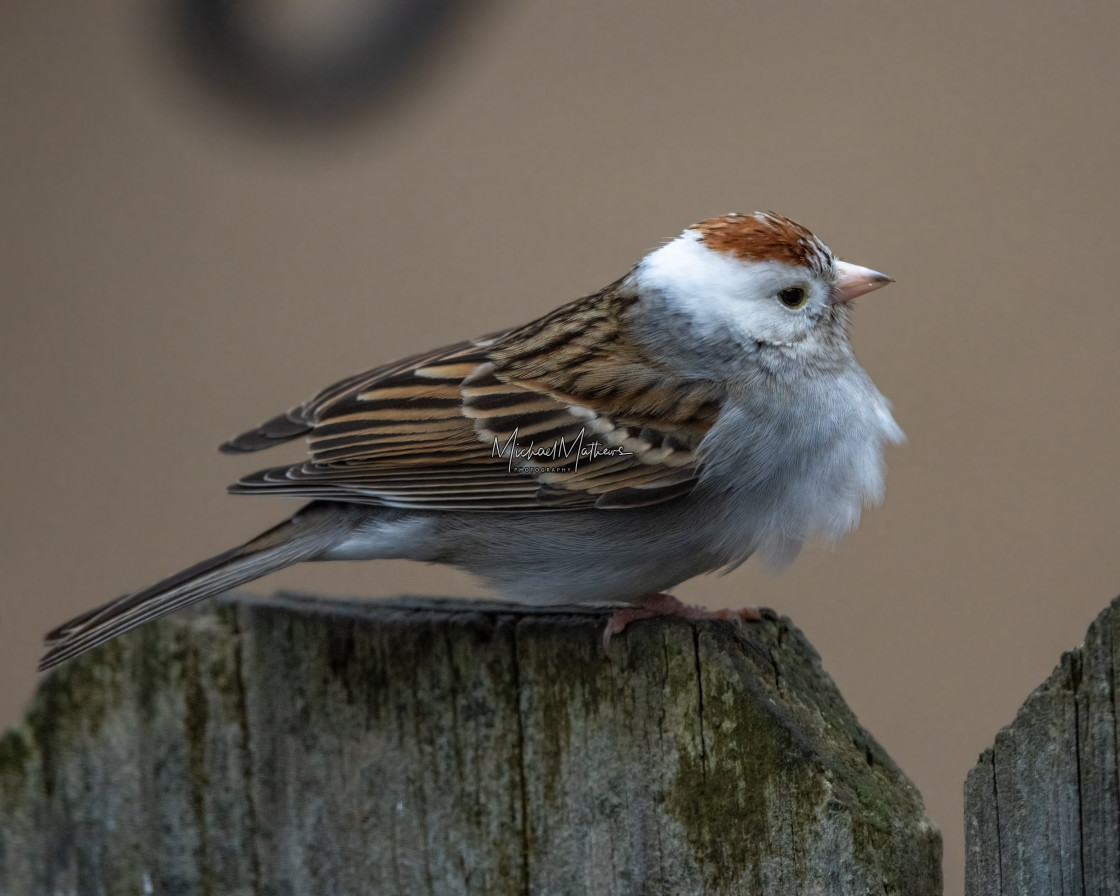 """""""Leucistic Chipping Sparrow"""" stock image"""