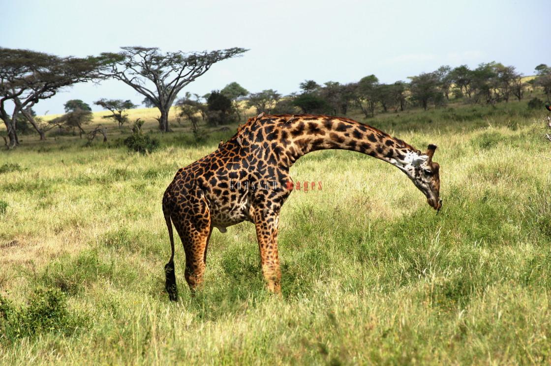 """Tanzanian Giraffe: A Pride of the Nation"" stock image"