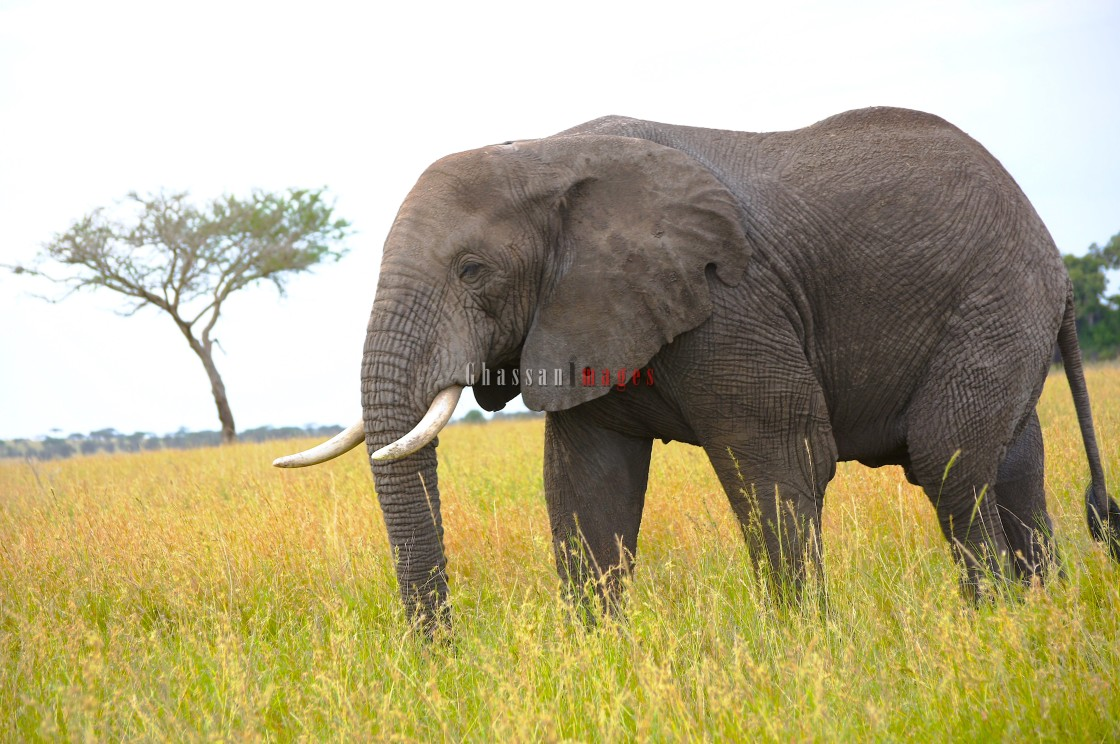 """""""Giant Elephant: The African Power"""" stock image"""