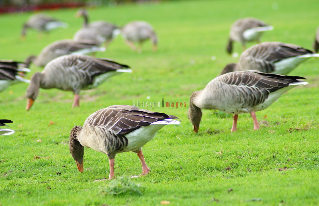 """Ducks gazing in Rheinaue"" stock image"