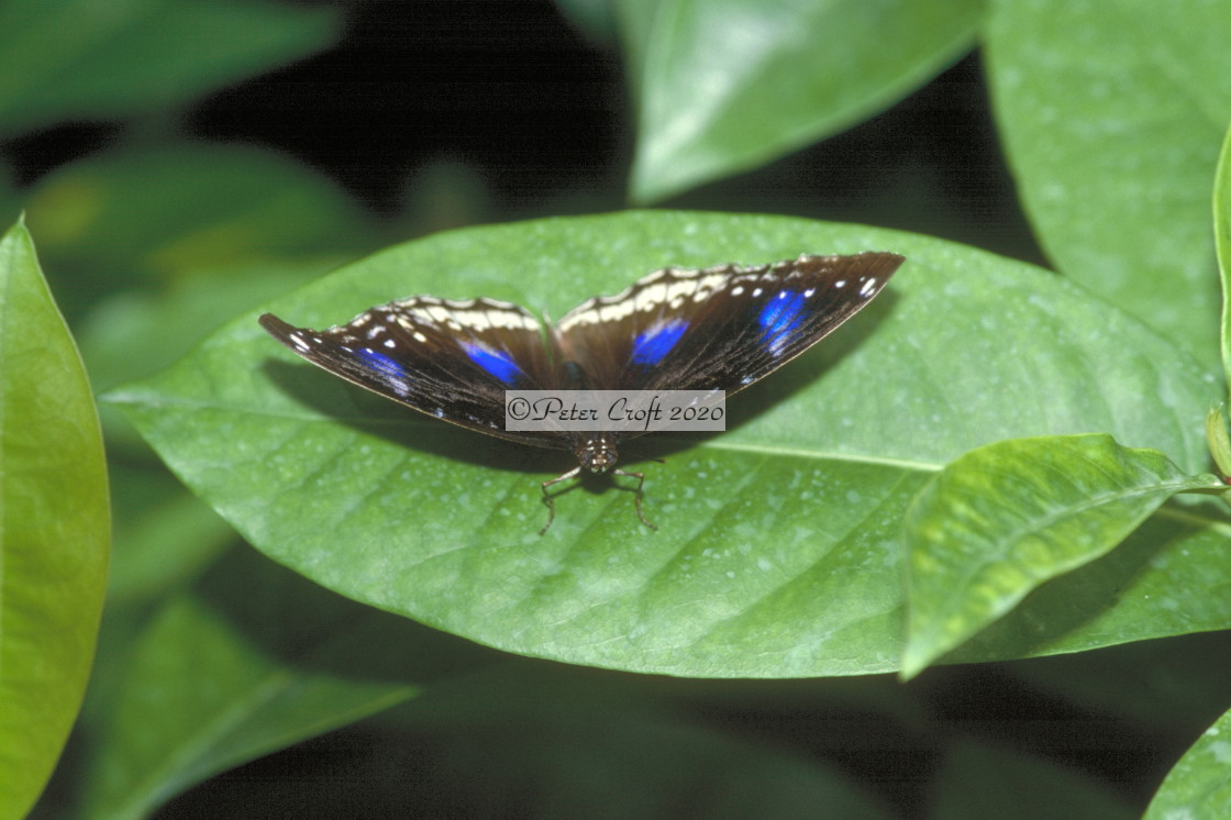 """A Blue Crow butterfly, Malaysia."" stock image"