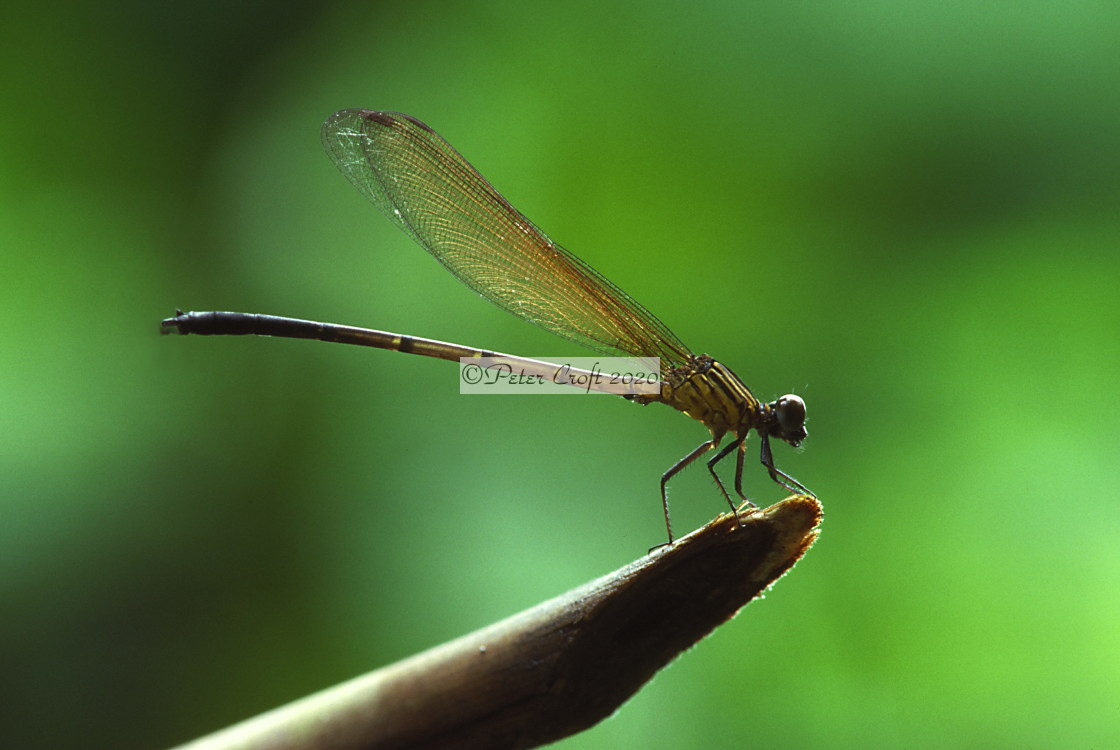 """A dragonfly on a stalk, Malaysia"" stock image"