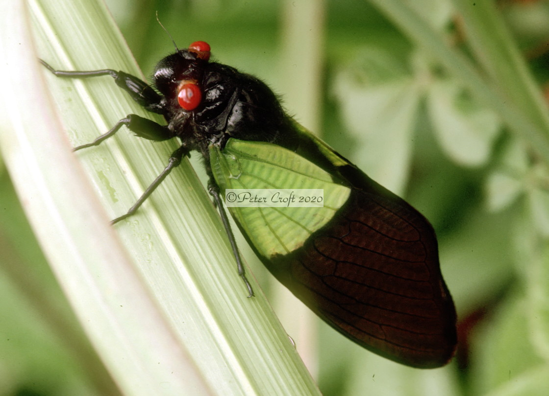 """""""A cicada, Malaysia."""" stock image"""