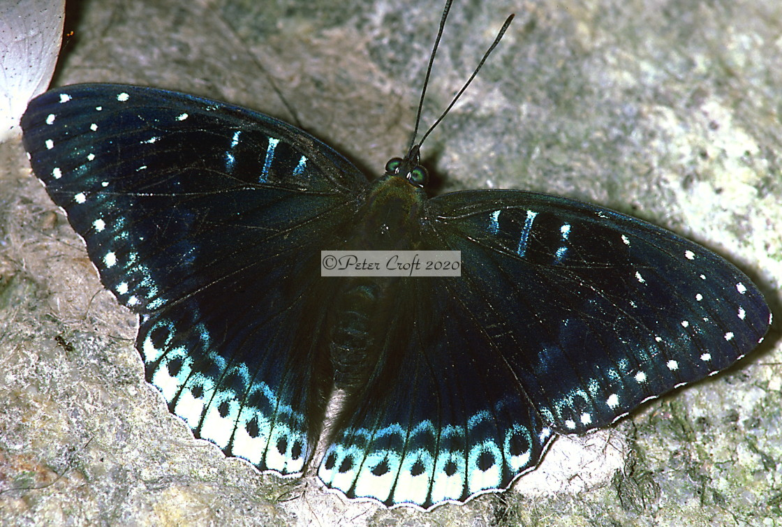 """A blue butterfly on a rock, Malaysia."" stock image"