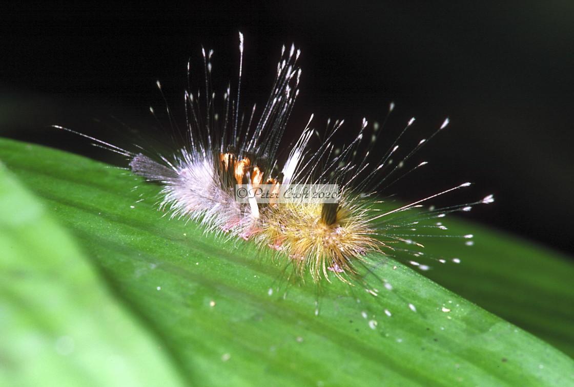 """A hairy caterpillar, Malaysia."" stock image"