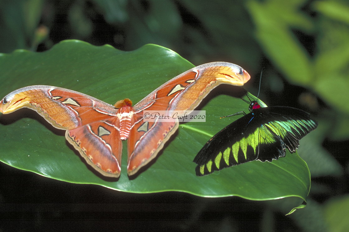 """An Atlas moth and a Rajah Brooke Birdwing butterfly together, Malaysia."" stock image"