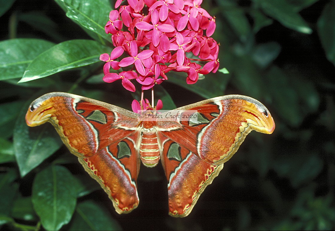 """The Atlas moth on a flower, Malaysia."" stock image"
