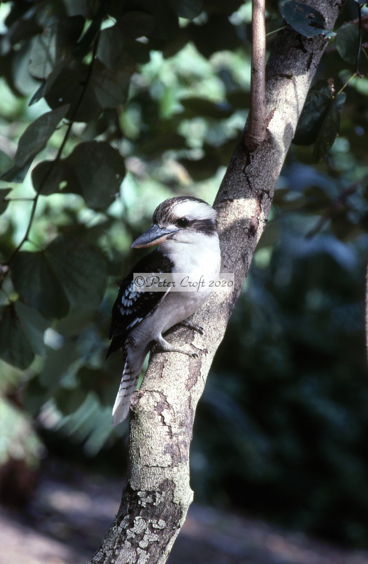 """Kookaburra on tree, Brisbane, Australia."" stock image"