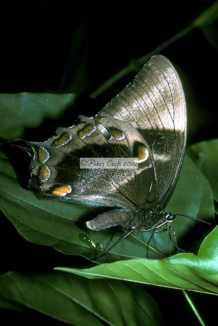 """Butterfly, rainforest, Queensland, Australia."" stock image"