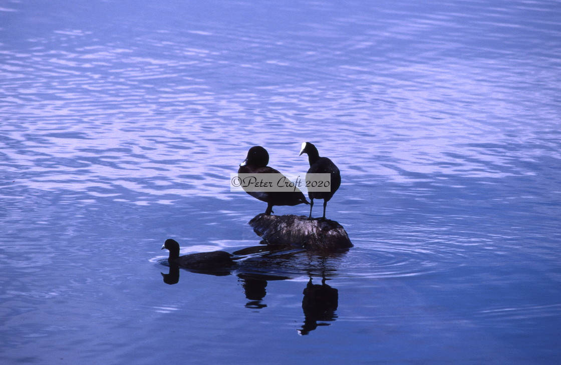 """""""Two coots and a duck, Queensland, Australia."""" stock image"""