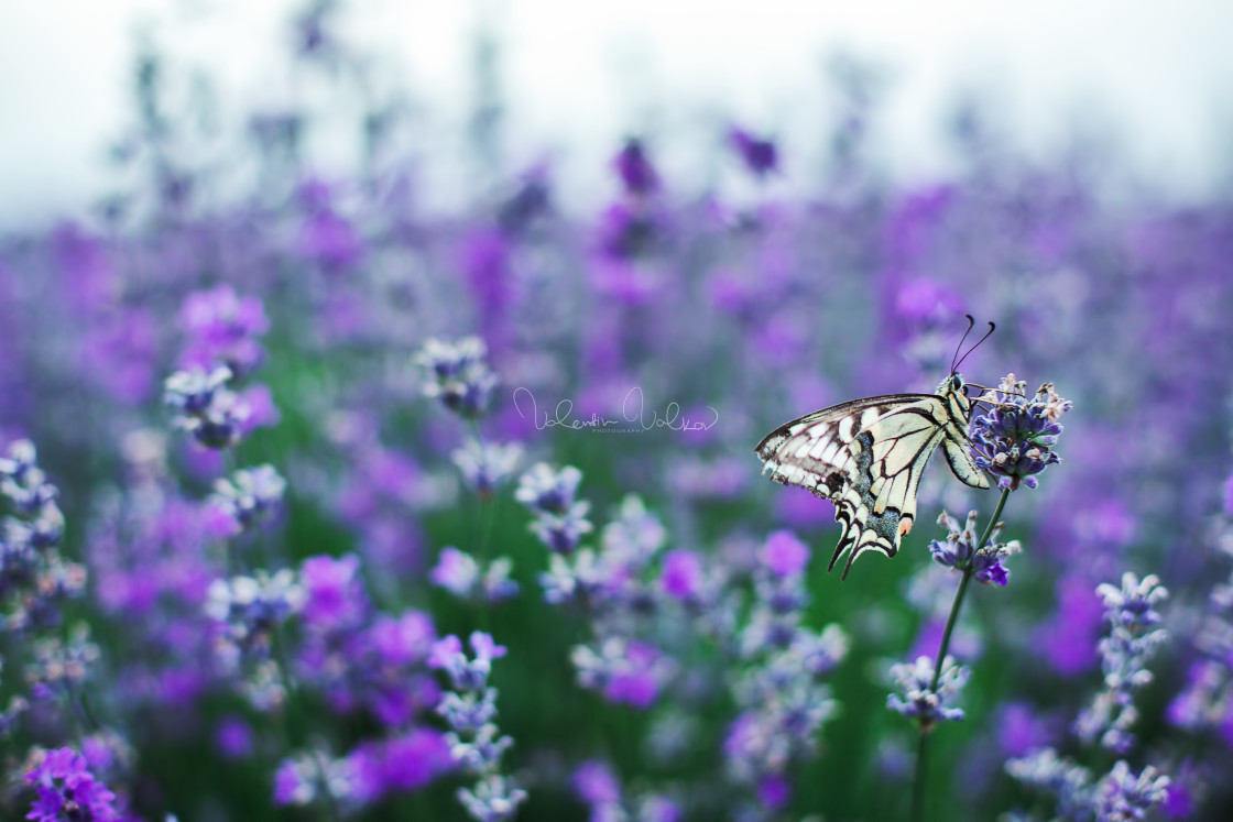 """""""Lavender flowers with buterfly"""" stock image"""
