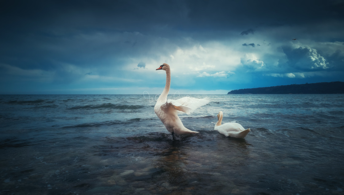 """""""Swan floating on the water and dramatic clouds"""" stock image"""
