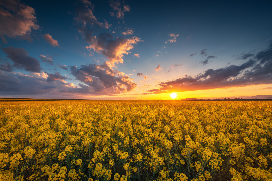 """""""Sunset over the rapeseed field, beautiful spring day."""" stock image"""