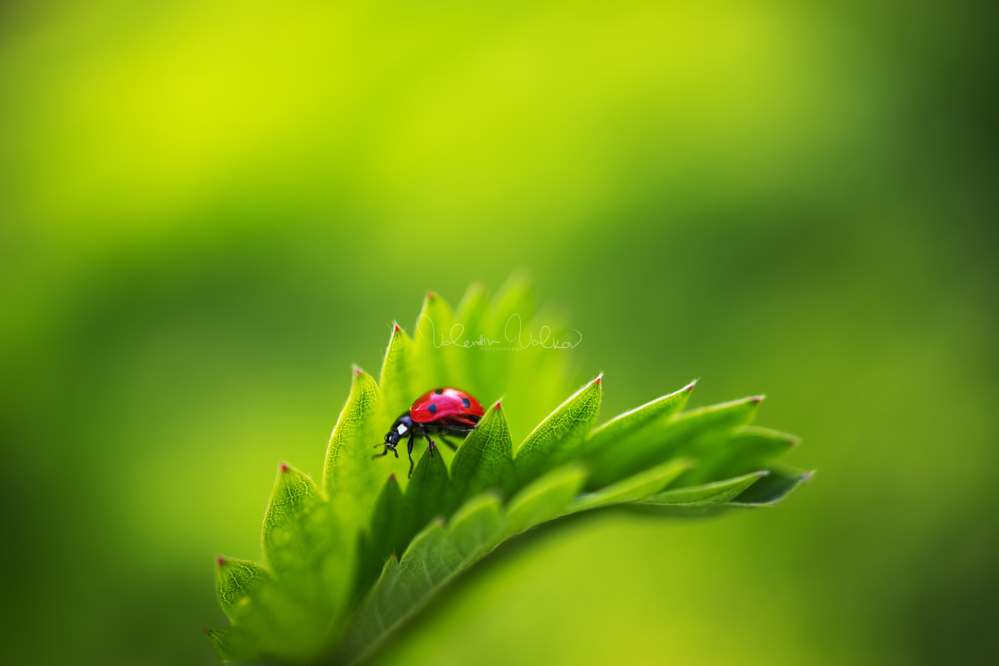 """Ladybug insect walking on fresh green leaves in countryside fiel"" stock image"