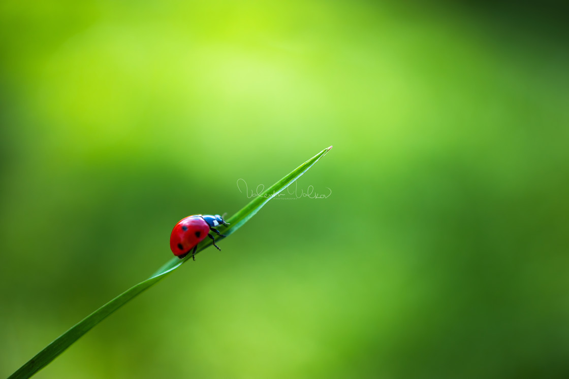 """""""Ladybug insect walking on fresh green leaves in countryside fiel"""" stock image"""