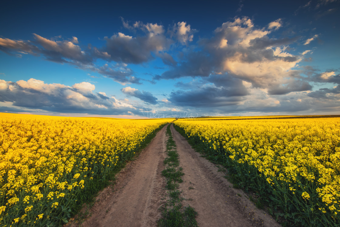 """""""Sunrise over the rapeseed field, beautiful spring day."""" stock image"""