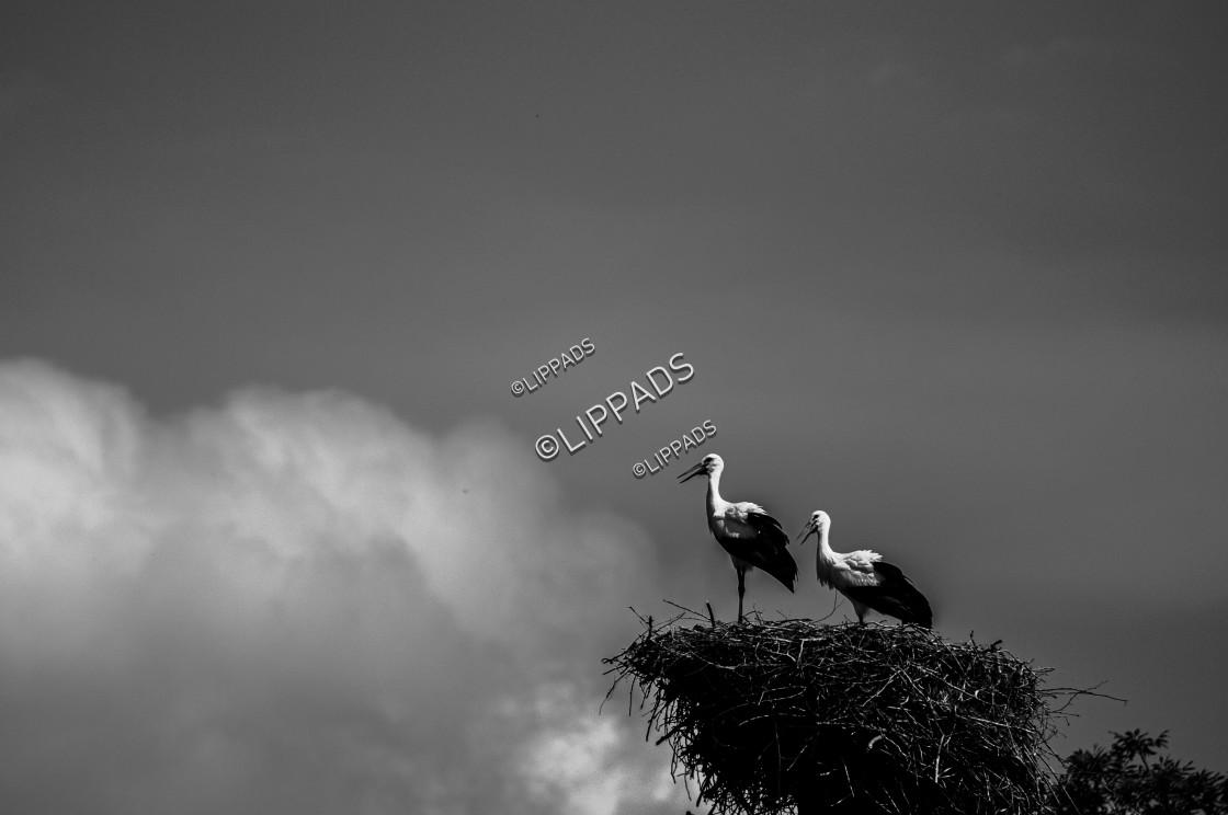 """""""Black and White Storks Nest 2"""" stock image"""