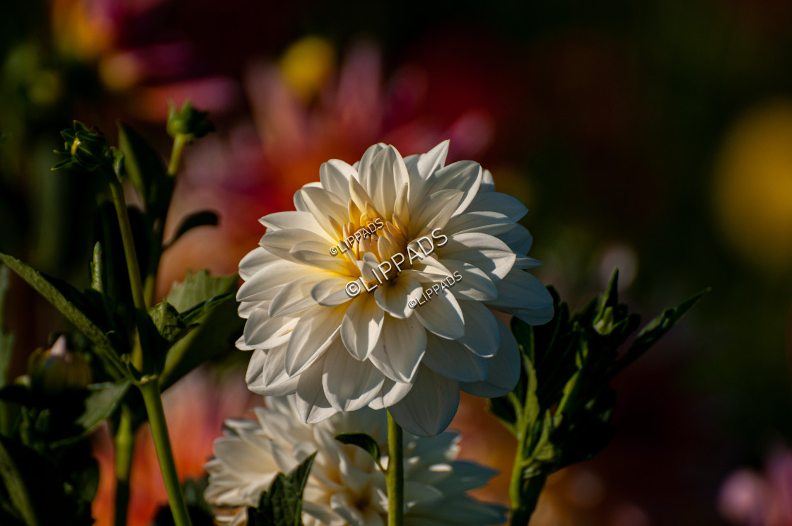 """A beautiful white dahlia"" stock image"