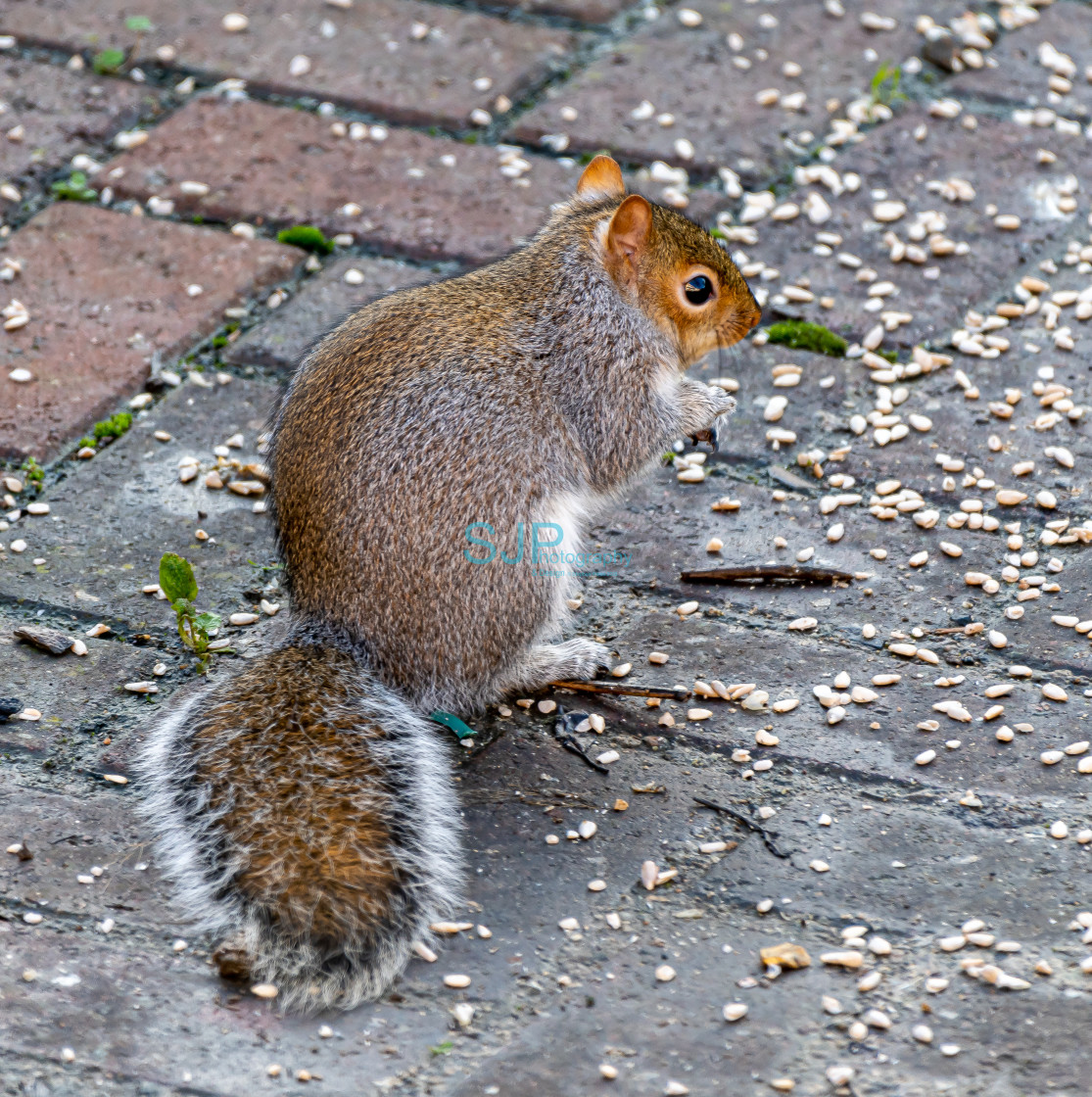 """Grey Squirel on Ground"" stock image"