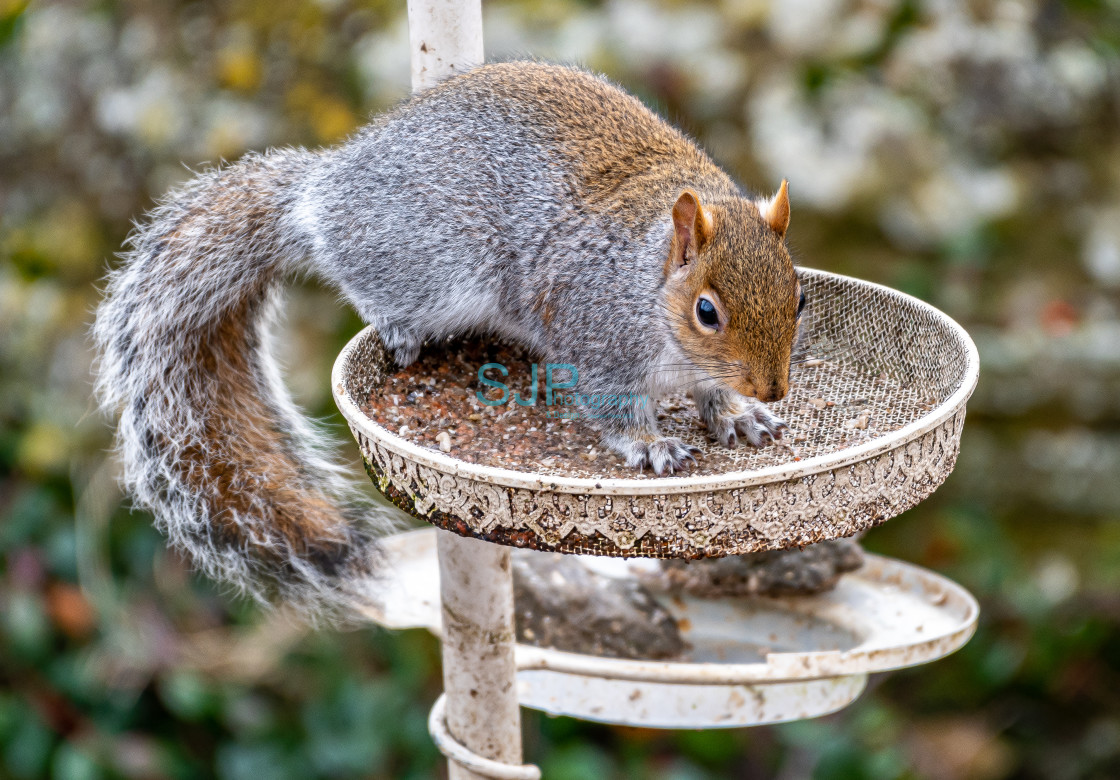 """Squirrel on the feeder"" stock image"