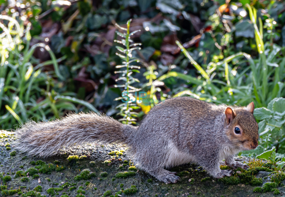 """Squirrel on a Wall"" stock image"
