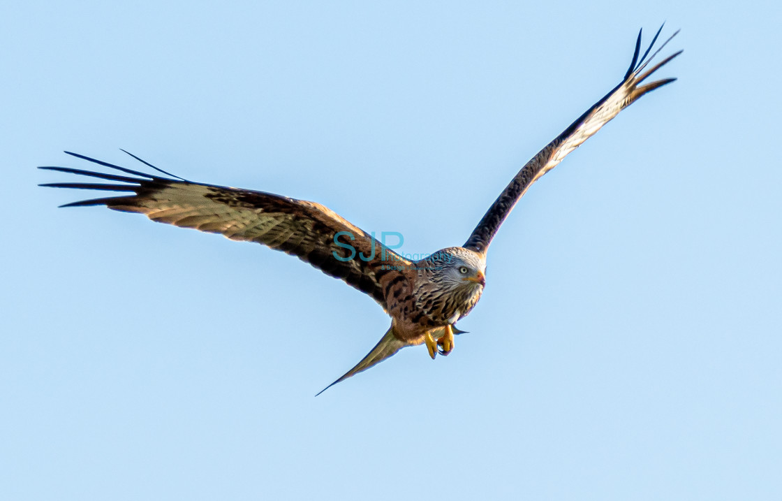 """Red Kite Swoop"" stock image"