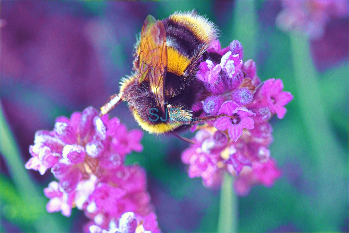 """Bee on Lavender"" stock image"