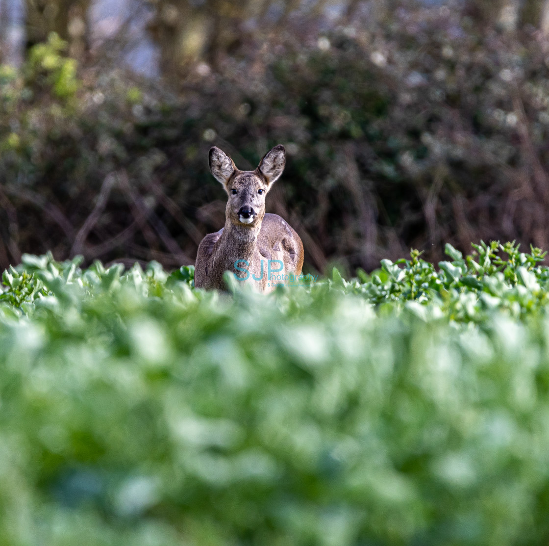 """Roe Deer in the field"" stock image"