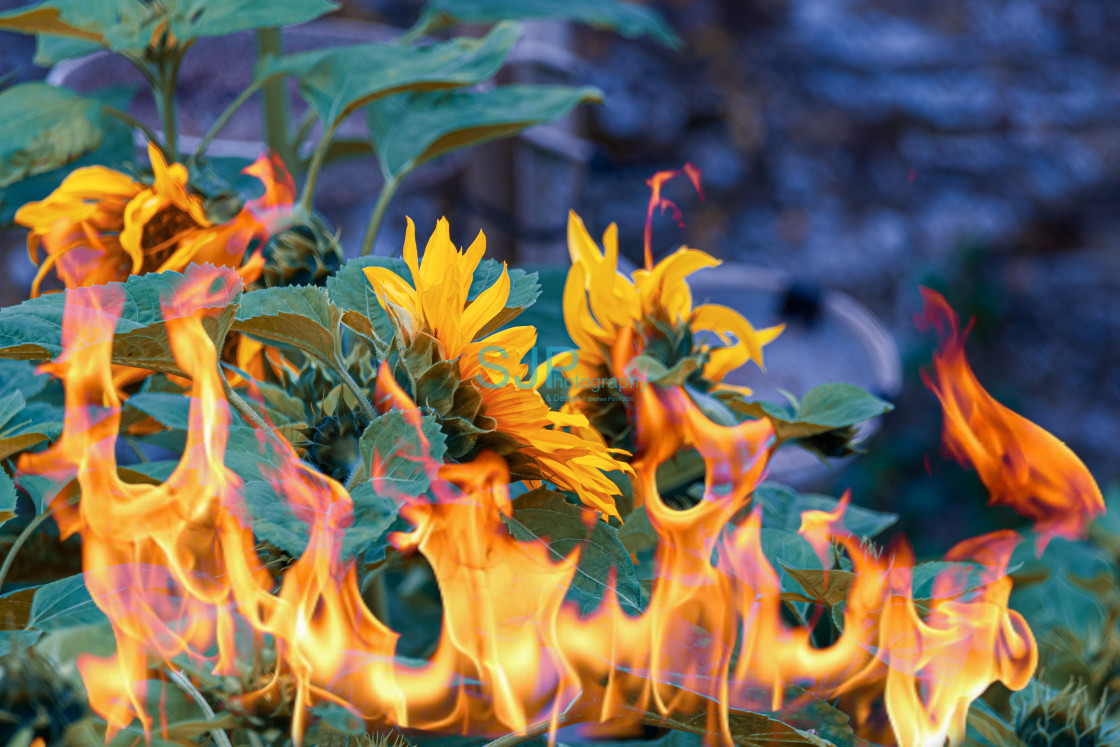 """Sunflowers on Fire"" stock image"