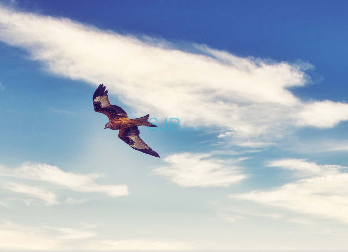 """""""Red Kite in Flight with a Cloudy Dramatic Sky"""" stock image"""