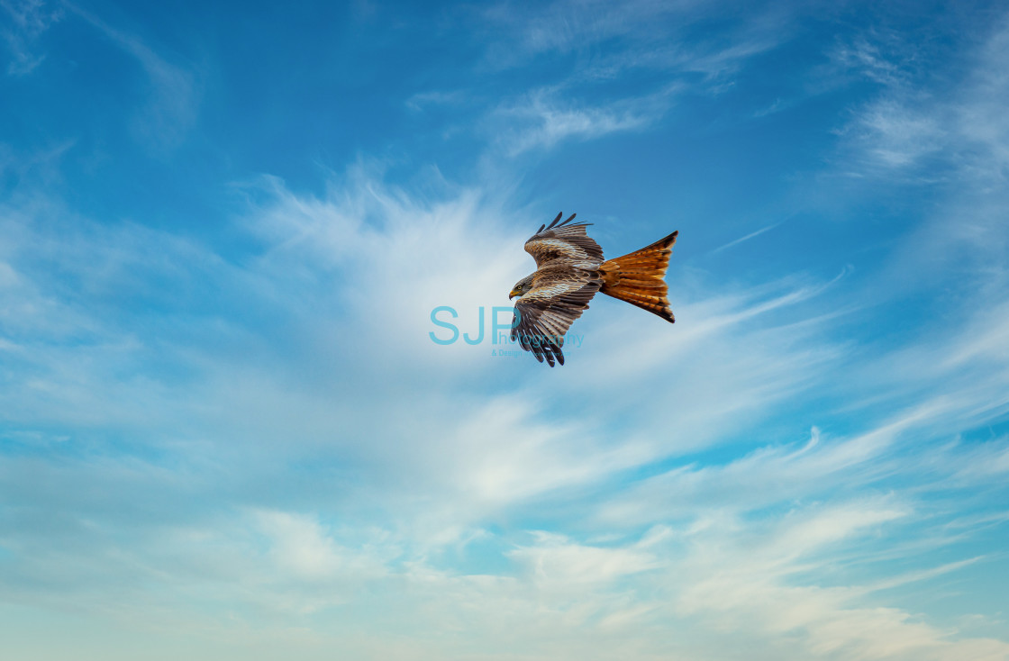 """""""Red Kite in Flight with Cloudy Blue Sky"""" stock image"""
