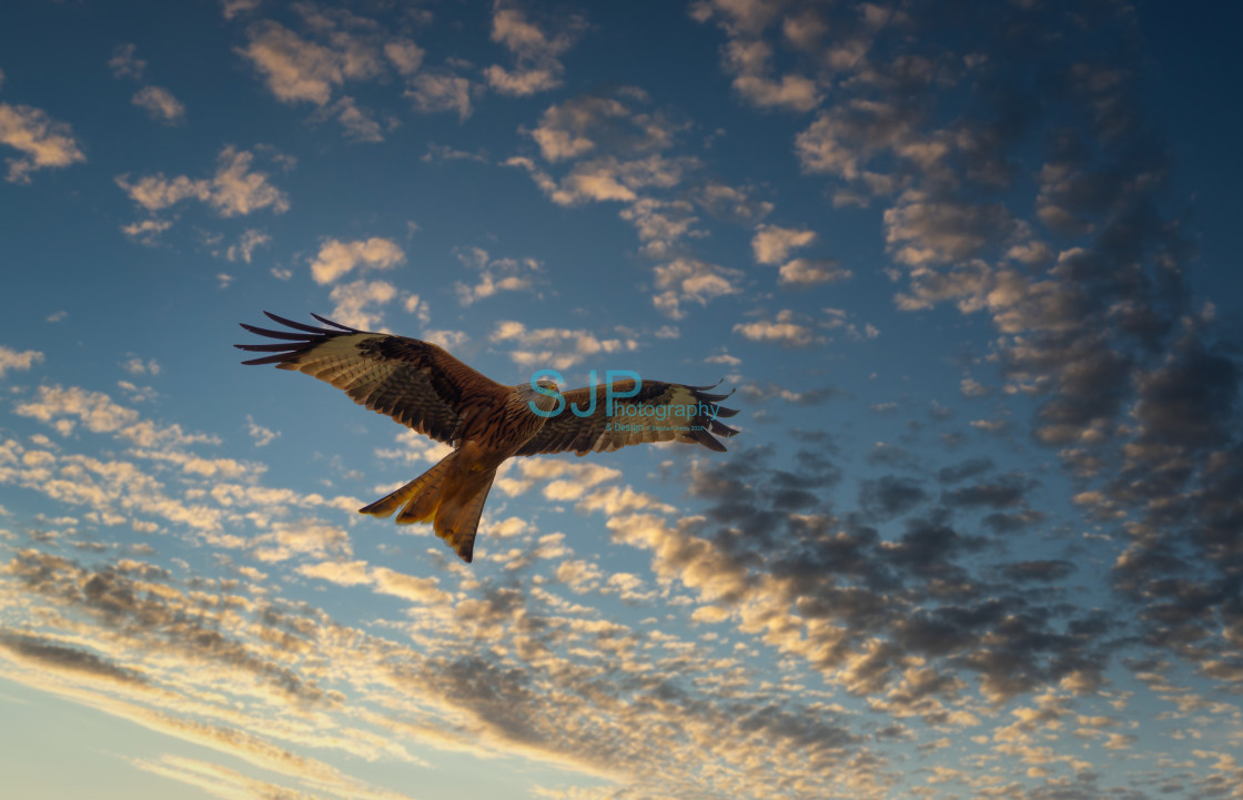 """""""Red Kite Swoop"""" stock image"""