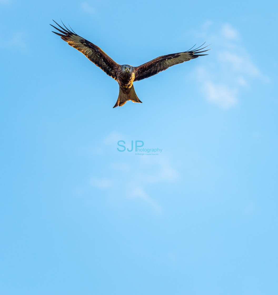 """""""Red Kite Swooping down with a Blue Sky"""" stock image"""