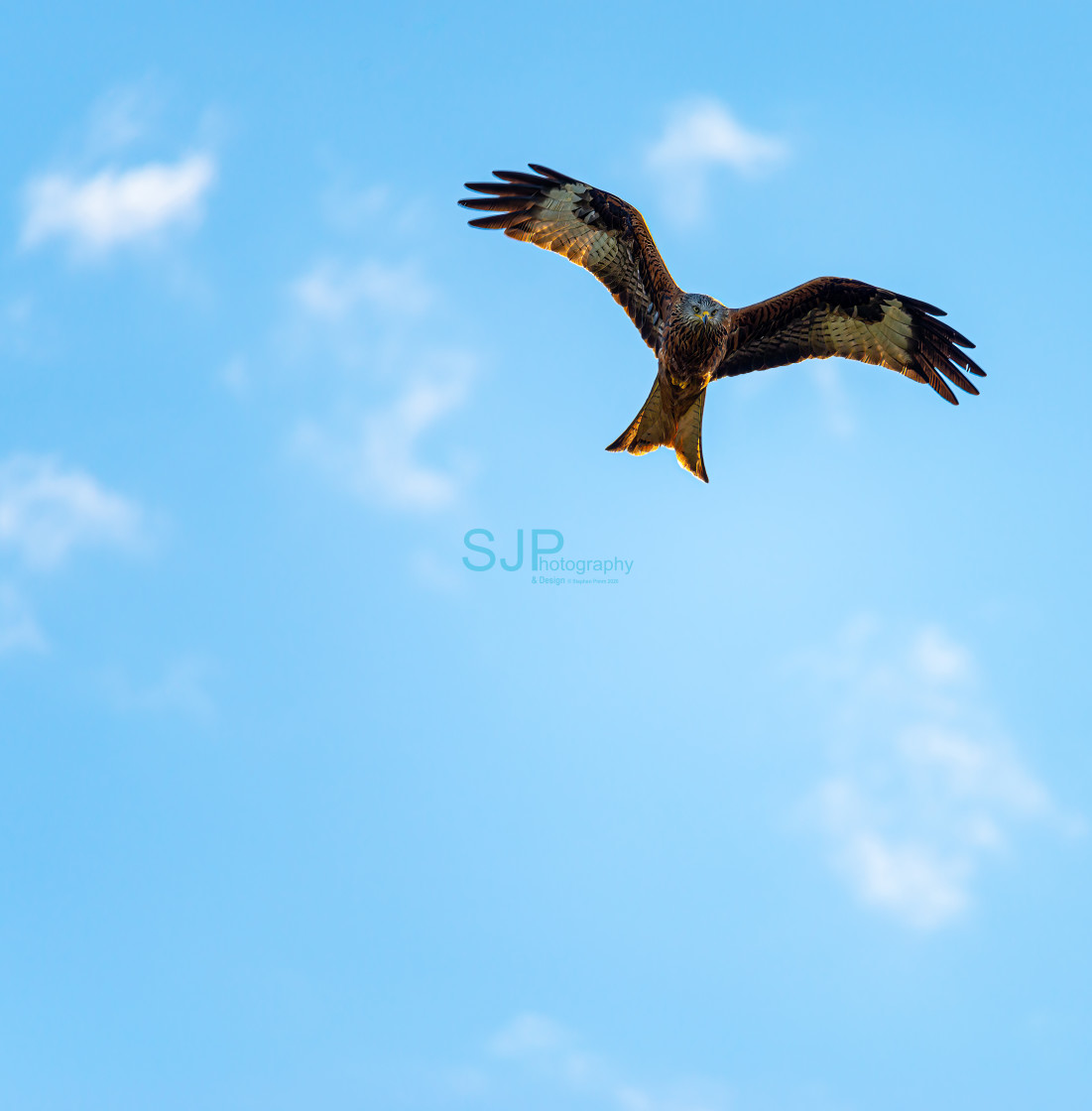 """""""Red Kite Swooping Flight with Blue Sky"""" stock image"""