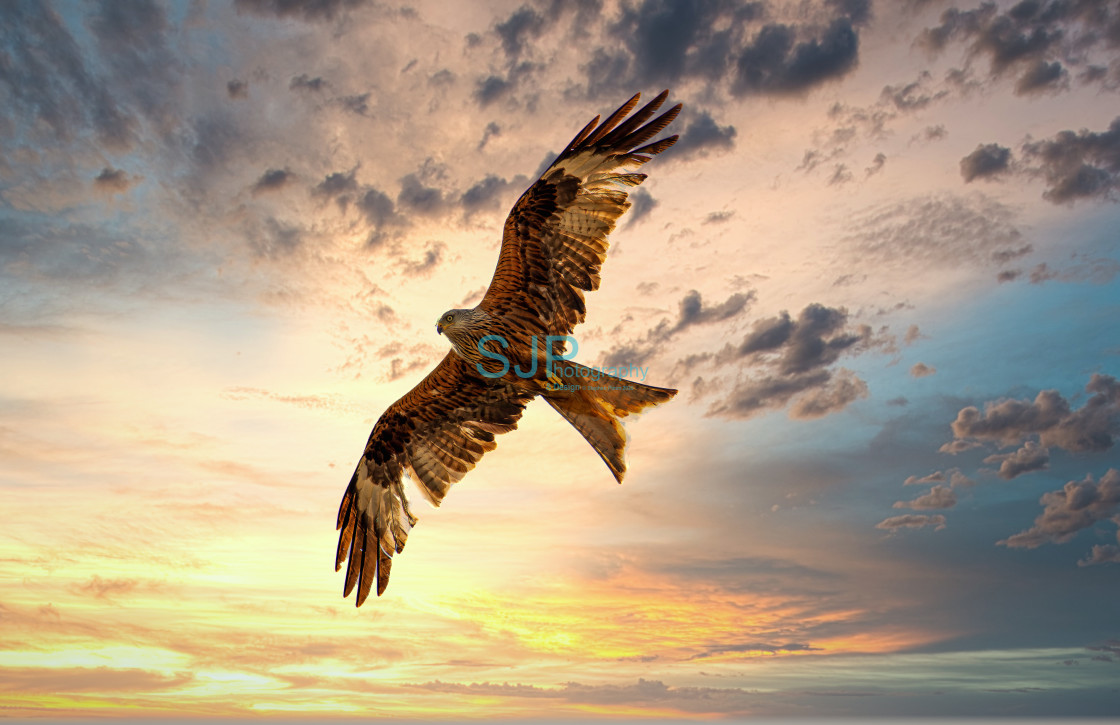"""""""Red Kite in Flight at Sunset"""" stock image"""